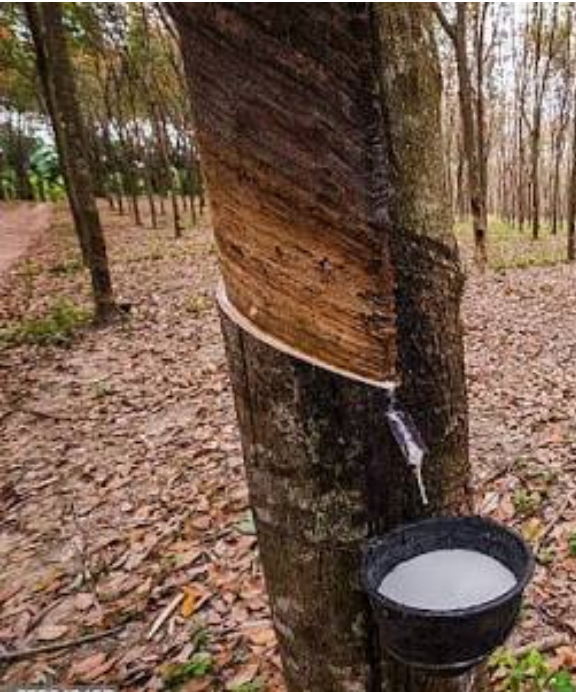 Farmers can now renew their registration to get a fixed price for rubber